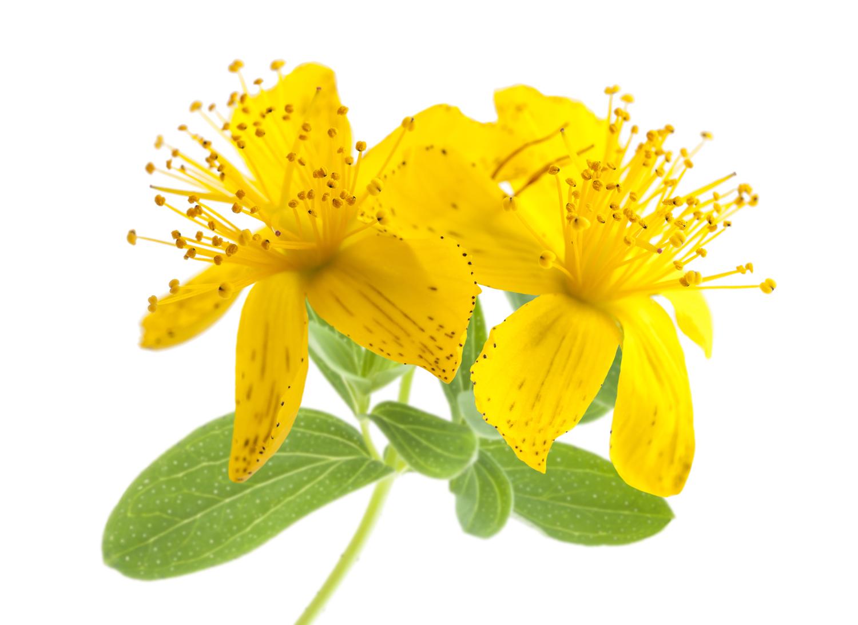 Трава зверобоя: лечебные свойства и противопоказания, применение