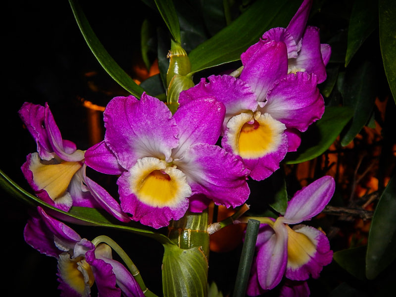 Орхидея Дендробиум нобиле – уход в домашних условиях