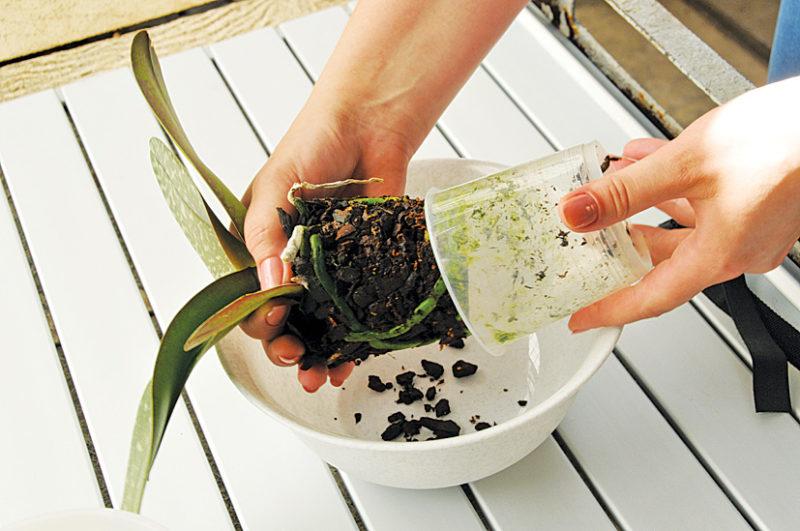Как рассадить орхидею в домашних условиях фото