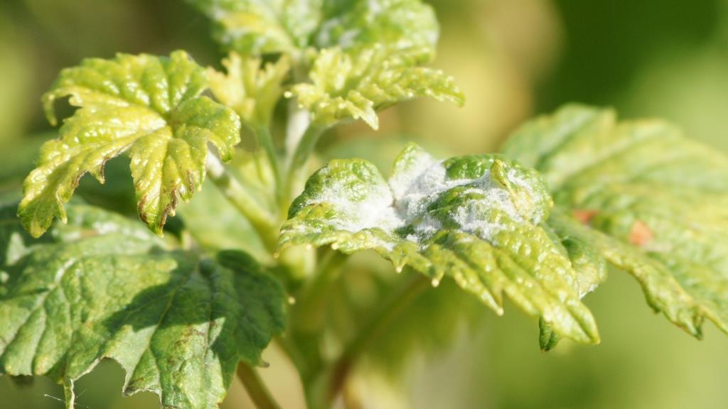 Мучнистая роса на смородине: меры борьбы, если уже появились ягоды, что делать с белым налетом на листьях весной