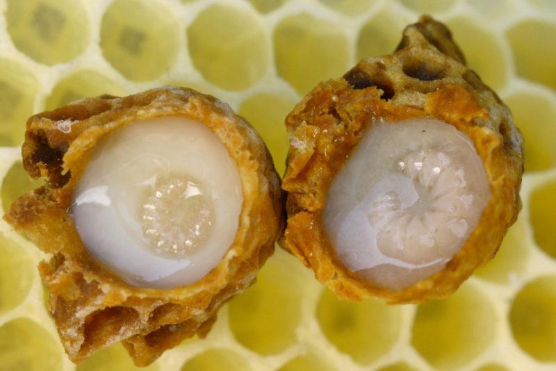 Пчелиное маточное молочко – полезные и лечебные свойства