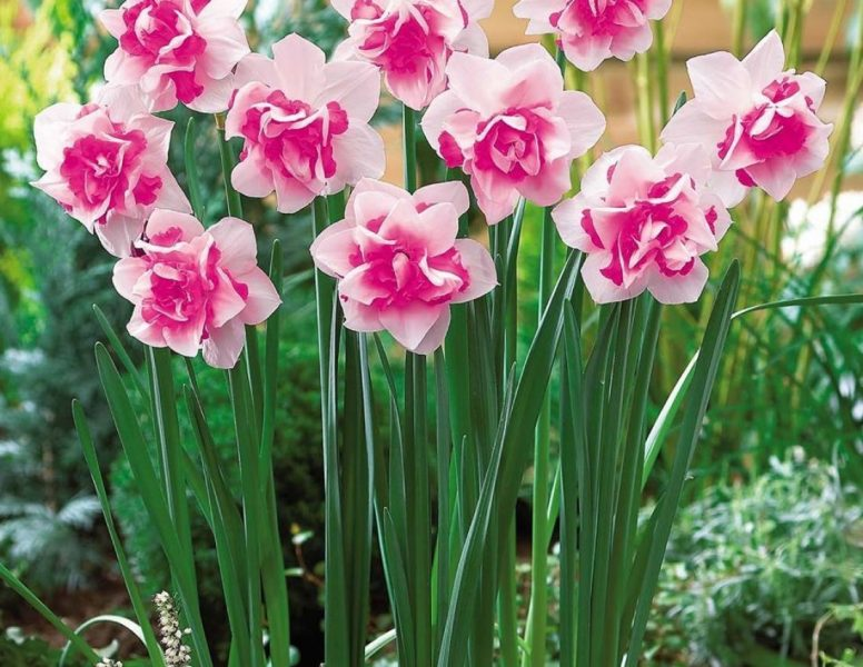 Цветы нарциссы посадка и уход