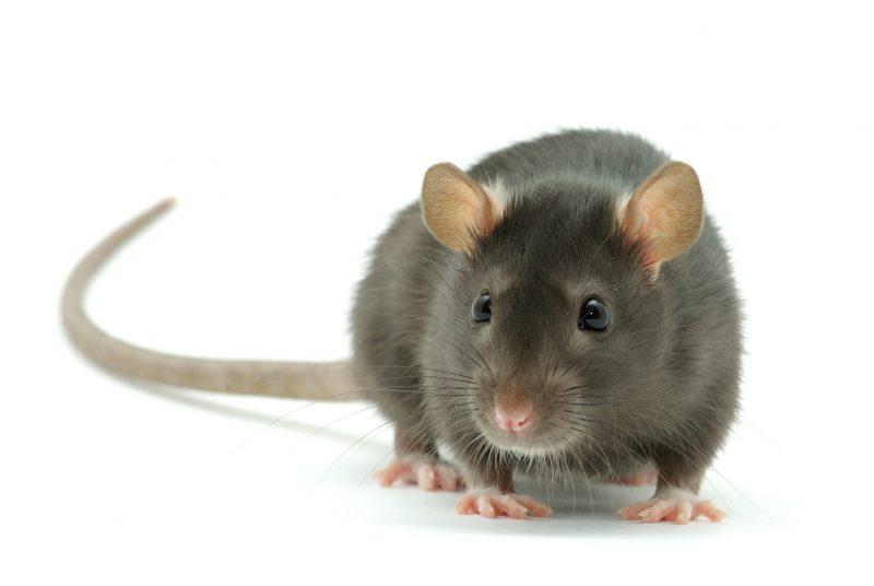 сонник крыса домашняя ручная