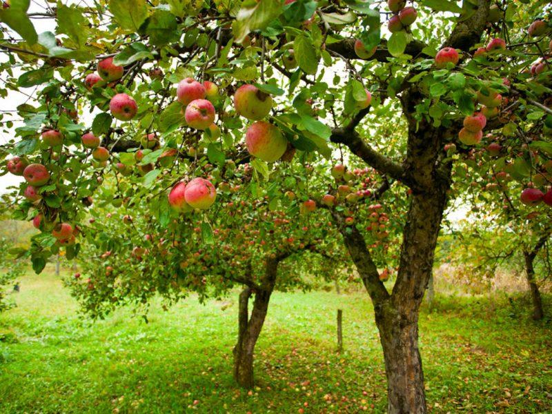 К чему снятся яблоки женщине? Сонник красные, зеленые яблоки