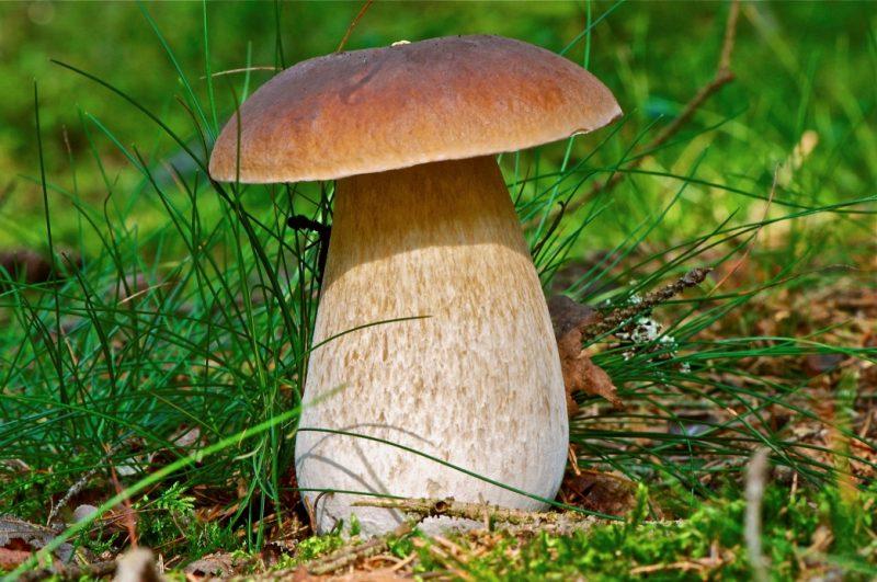 К чему снятся белые грибы видеть собирать готовить есть