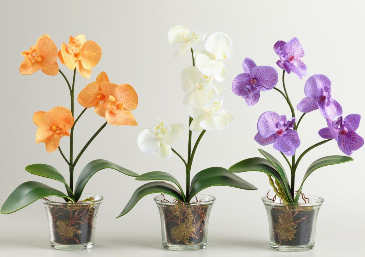 Пересадка орхидеи фаленопсис после покупки