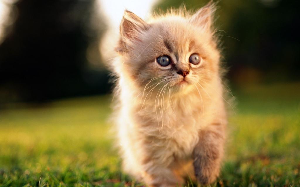 Сонник котенок девочка