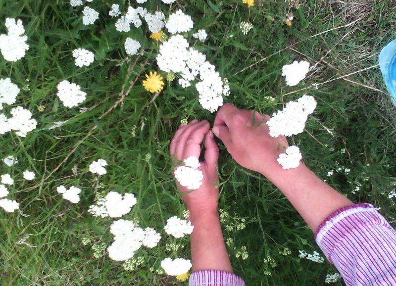 Тысячелистник – полезные свойства и противопоказания
