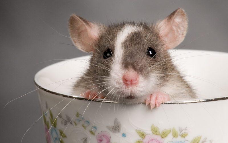 К чему снится крыса во сне для женщины: толкования сонников