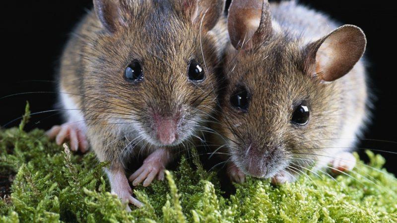 К чему снится много мышей, сонник – много мышей во сне