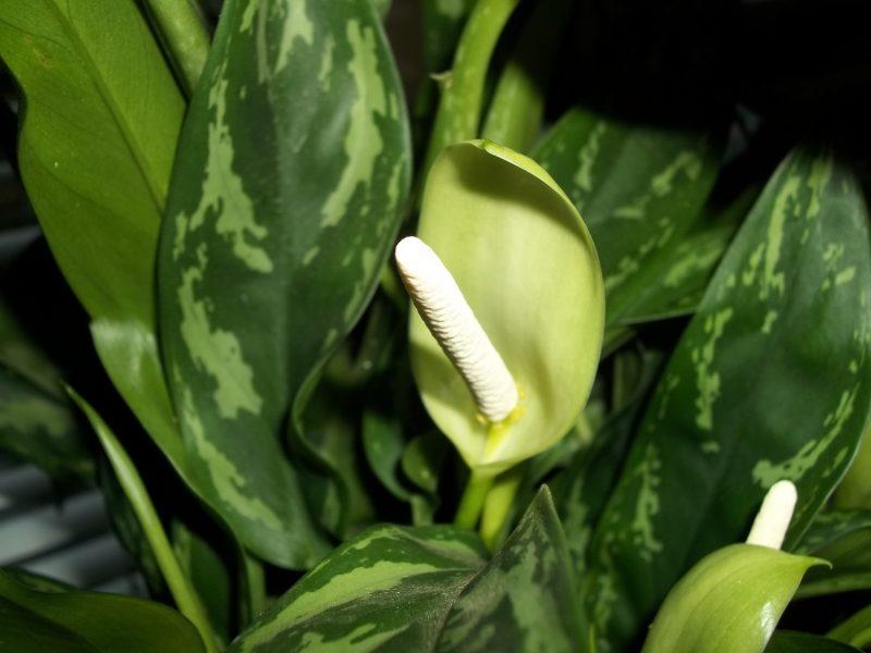 Диффенбахия: какой уход в домашних условиях необходим растению (фото)? Как ухаживать за диффенбахией в домашних условиях? - Женское мнение