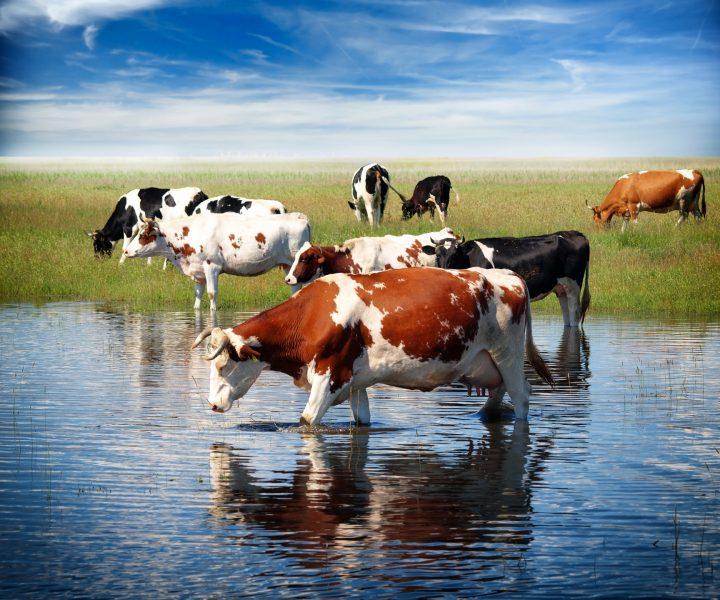 Сонник корова к чему снится корова во сне