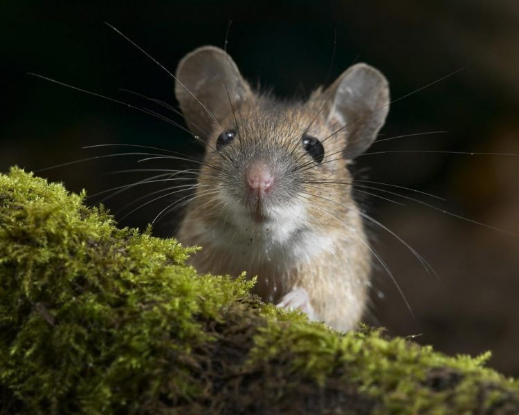 Сонник мышь полевка