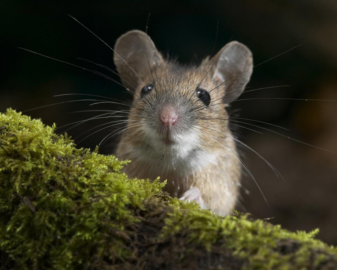 К чему снится много мышей во сне Сонник растолкует это видение