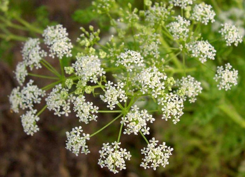 Болиголов - лечебные свойства и противопоказания травы