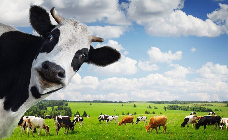 К чему снится корова женщине и мужчине