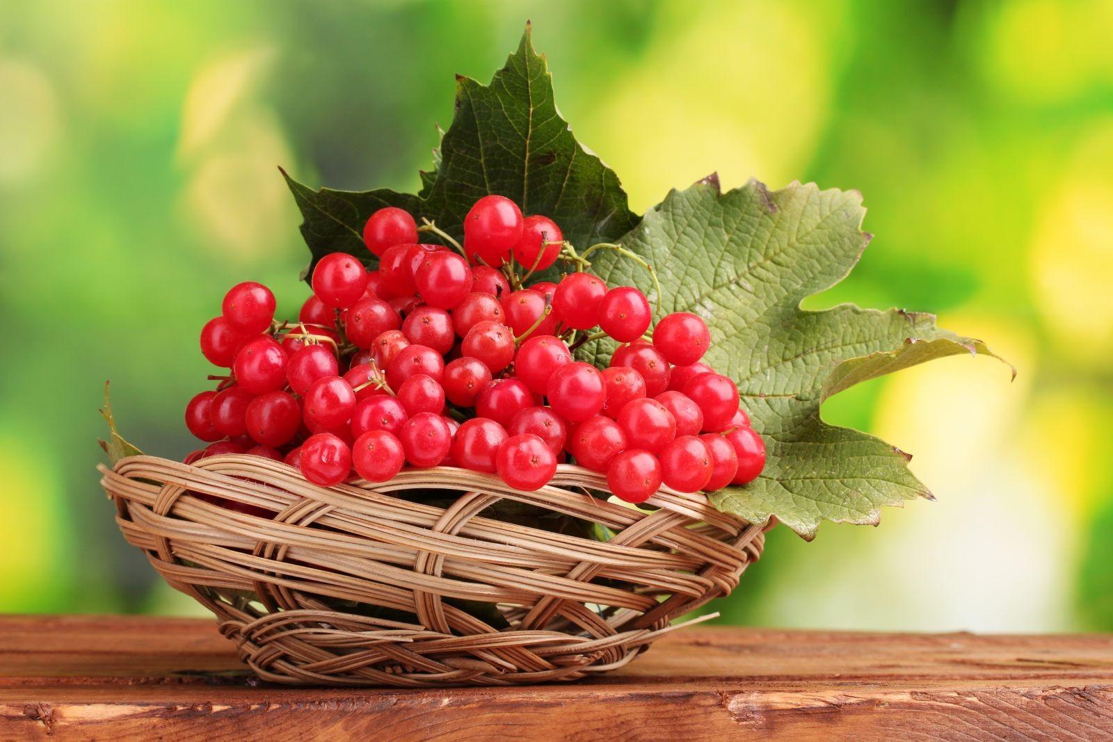 Калина красная - полезные свойства и противопоказания. Лечебные рецепты - применение в народной медицине коры, листьев, ягод калины