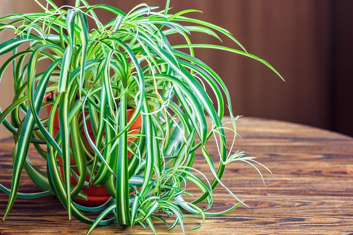 Хлорофитум хохлатый — уход в домашних условиях, выращивание и пересадка