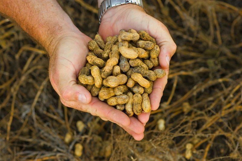 Где в россии выращивают арахис в промышленных масштабах