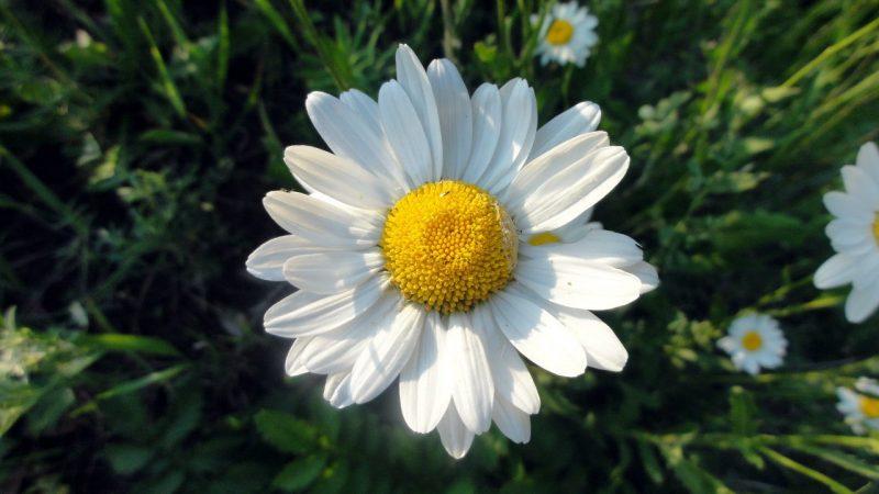 Ромашка садовая полезные свойства и противопоказания thumbnail