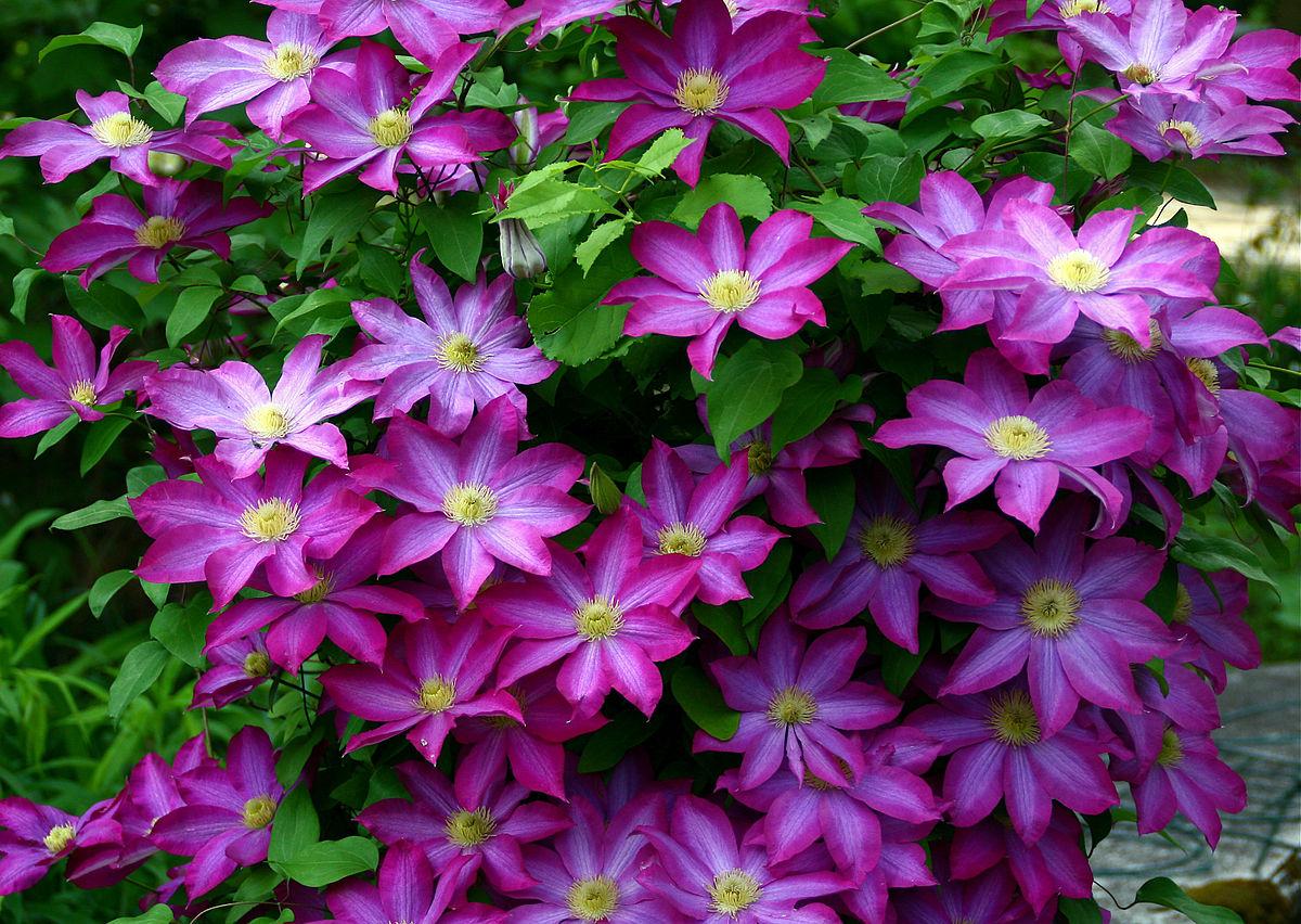 пассифлору дачные цветы на х названия с картинками инстаграме