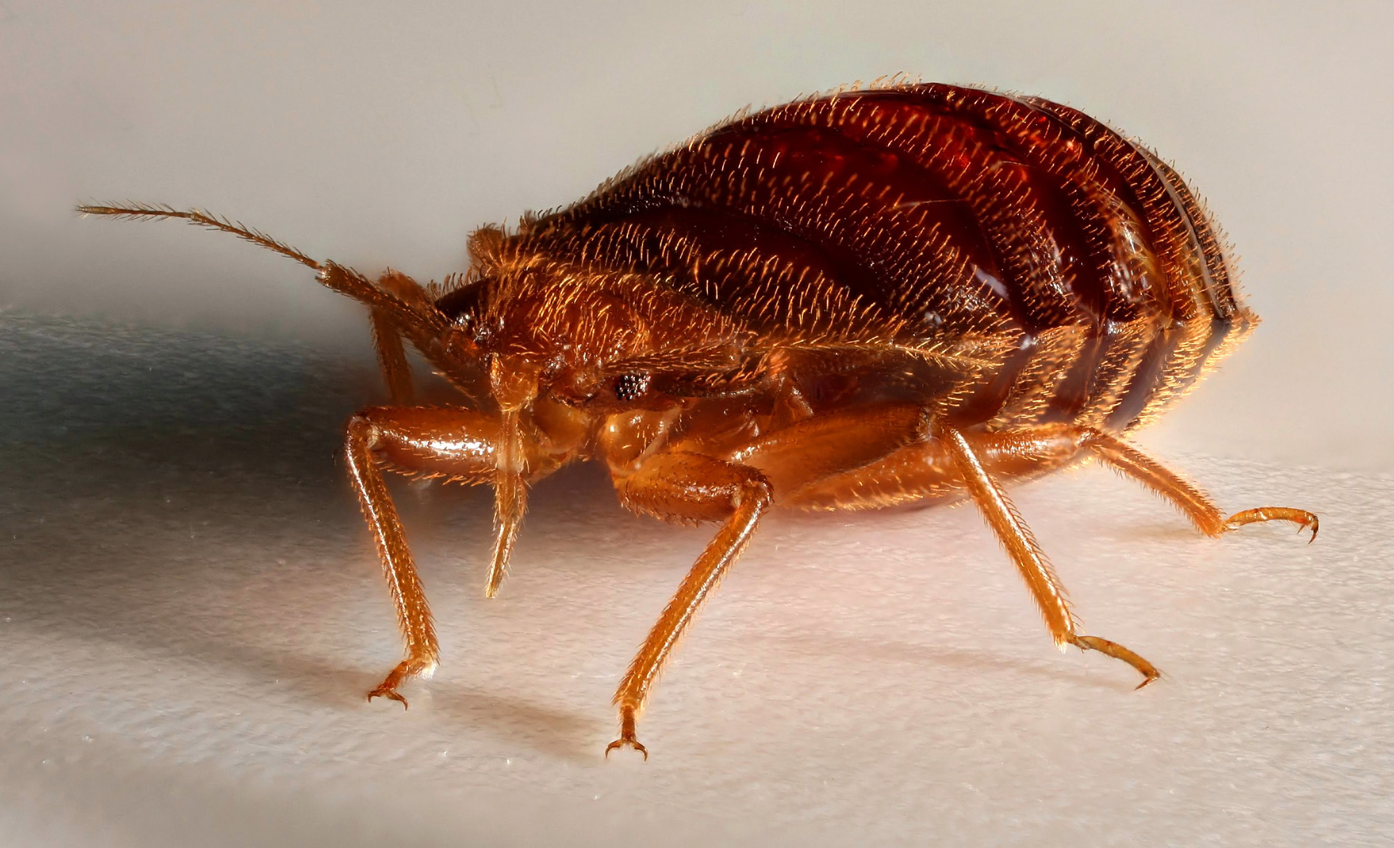 pictures of bed bugs - 1000×609