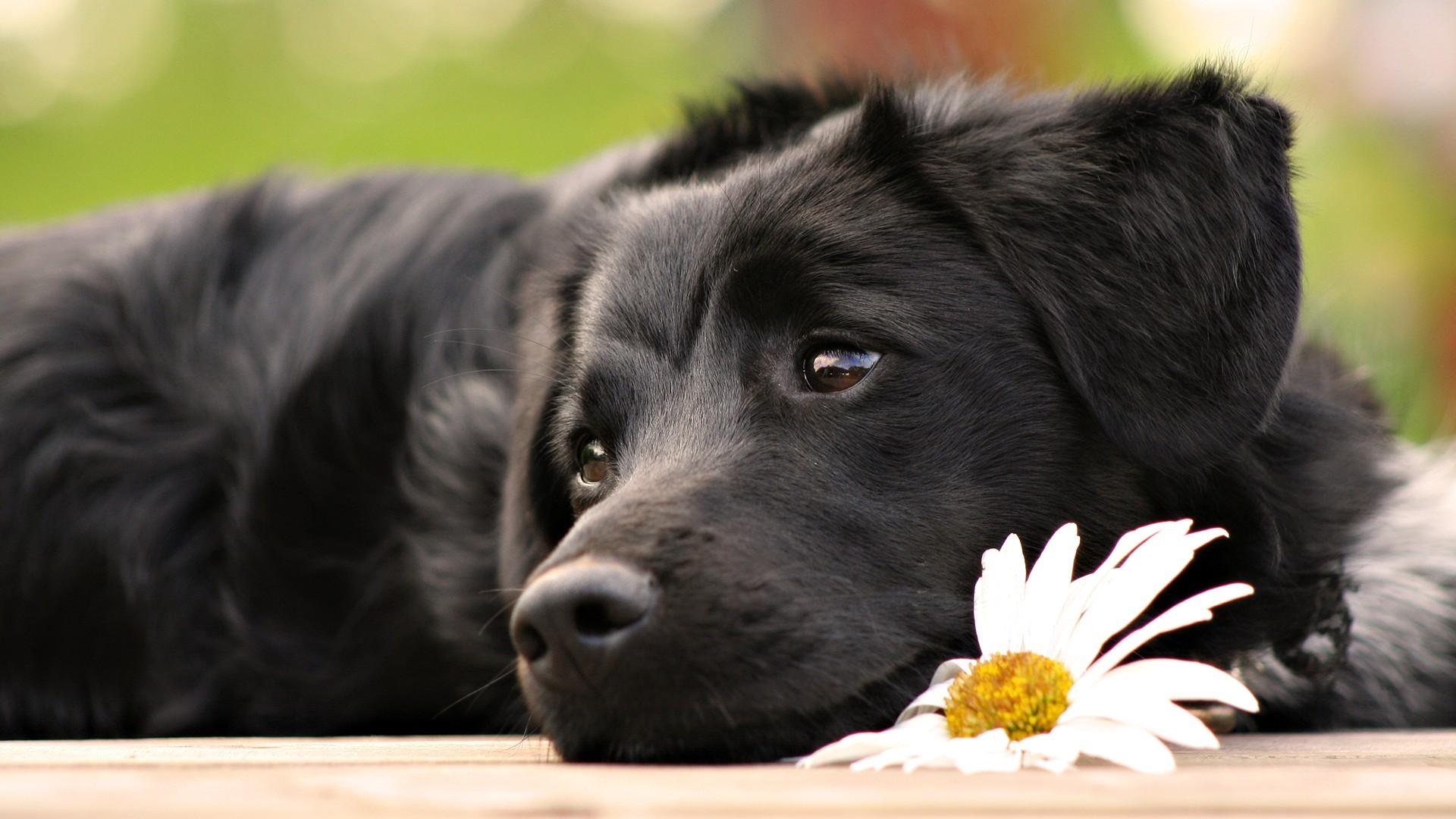 К чему снится черная собака? Сонник большая черная собака