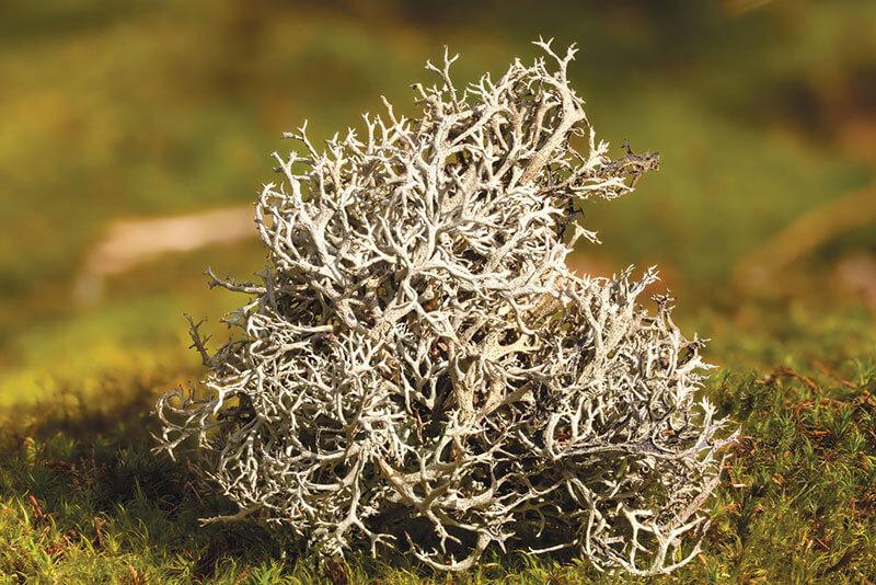 Исландский мох рецепты, как заваривать и отзывы травников