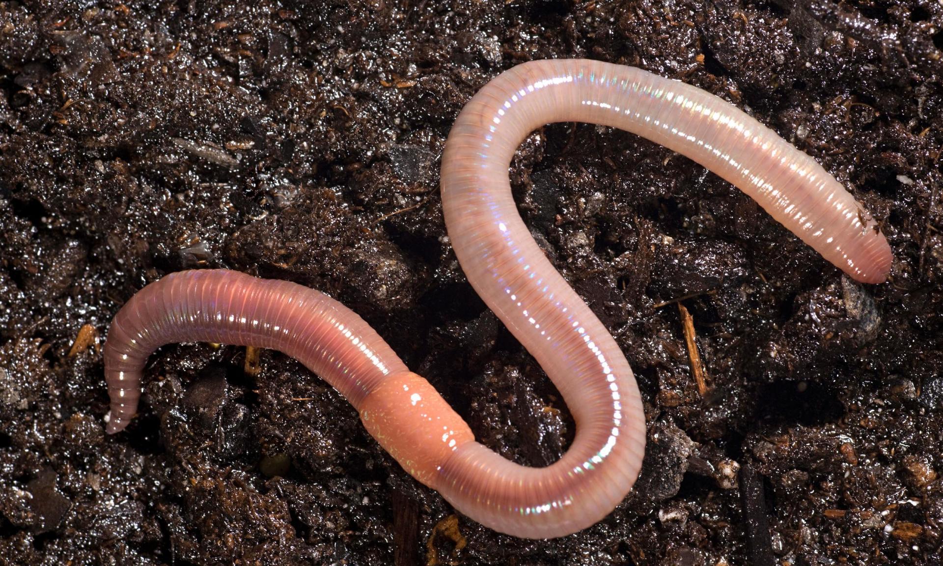 Сонник миллера черви белые