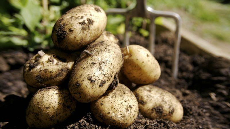 Сонник видеть картошку крупную