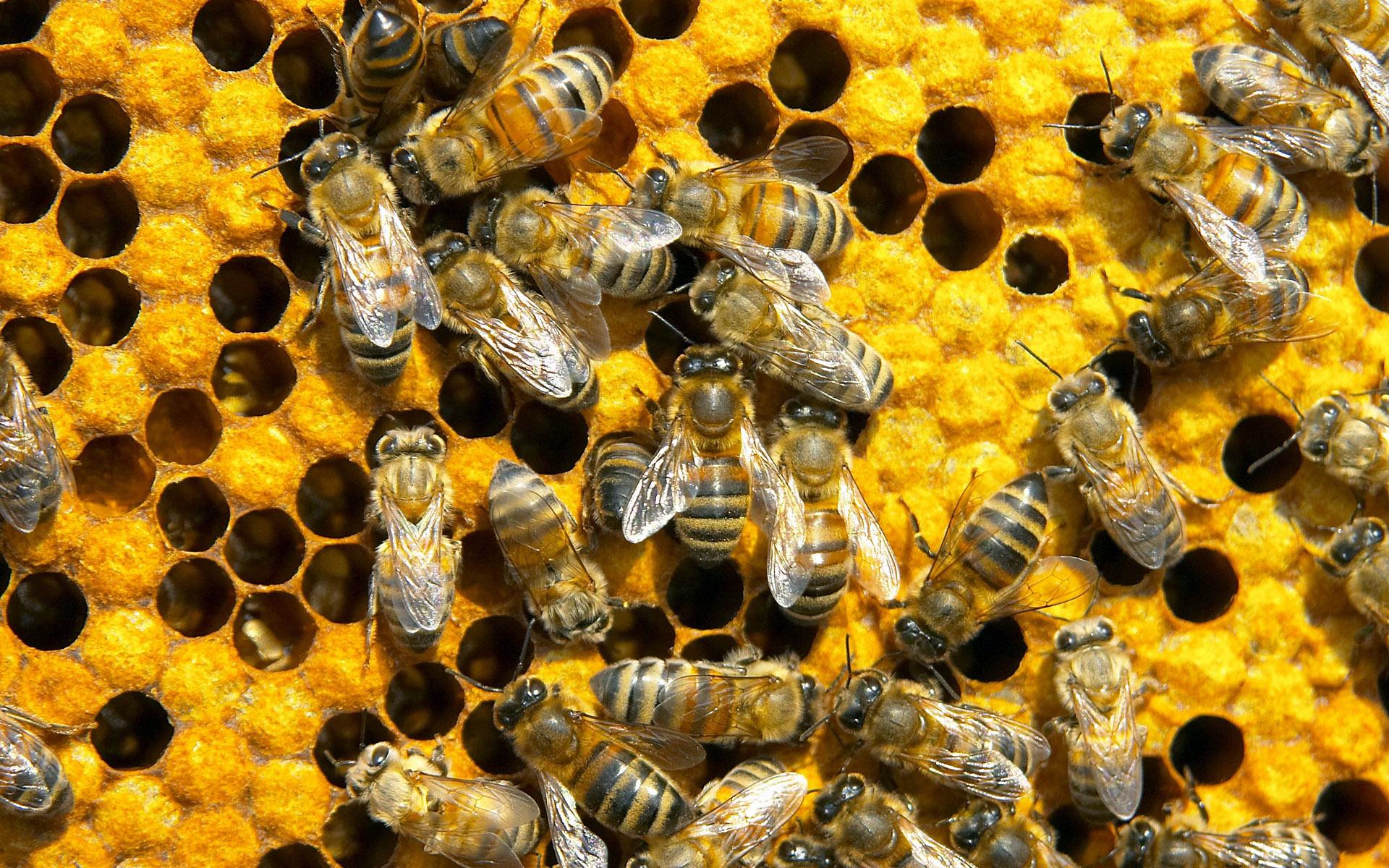 Сонник пчелы во сне рой