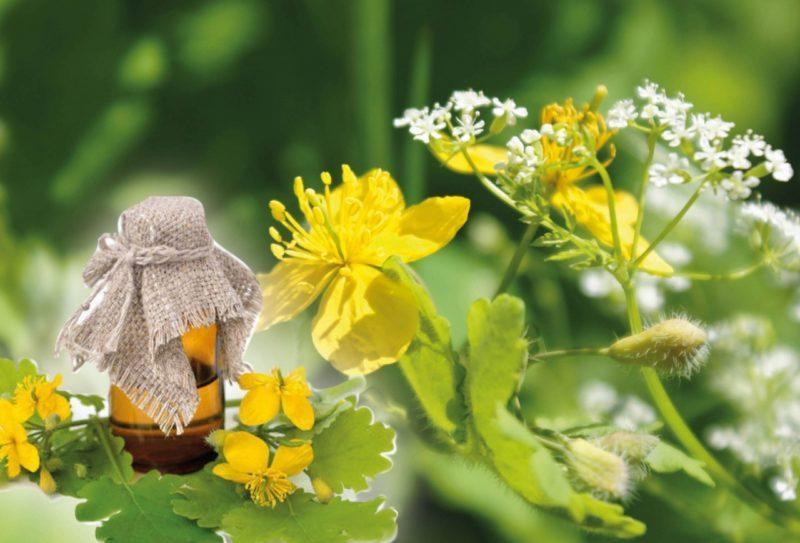 Чистотел лечебные полезные свойства и противопоказания — 10 рецептов применения