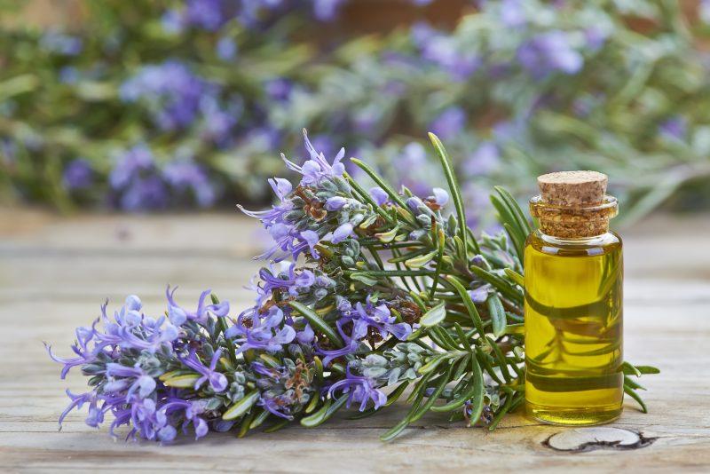 Розмарин: лечебные полезные свойства и противопоказания