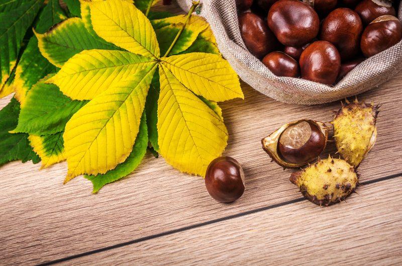 Конский каштан - лечебные свойства, противопоказания и лечебное применение