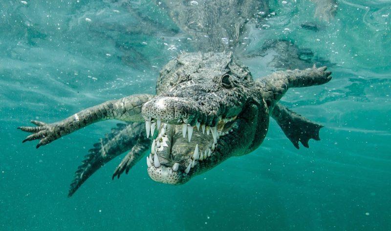 К чему снится крокодил женщине? Сонник крокодил