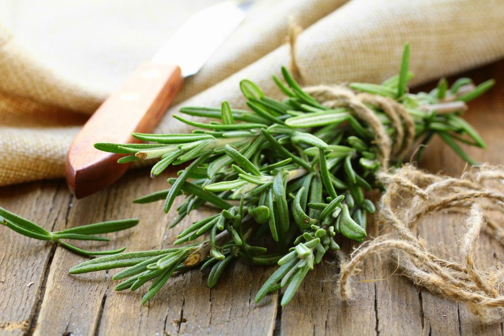 Розмарин — лечебные свойства и противопоказания для женщин и мужчин. Рецепты применения в народной медицине, косметологии для лица и волос