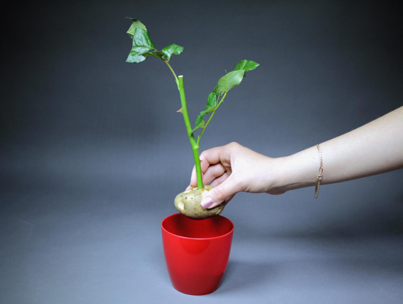 Цветов, как вырастить домашнюю розу из черенка