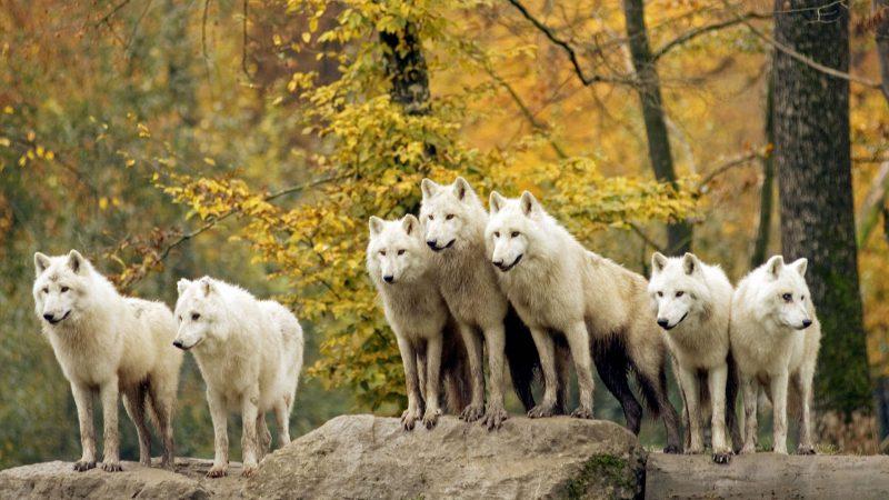 Сонник вой волка во сне для женщины