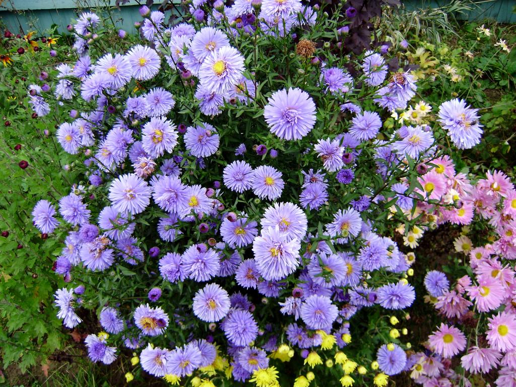 Хризантемы выращивание в саду уход посадка сорта