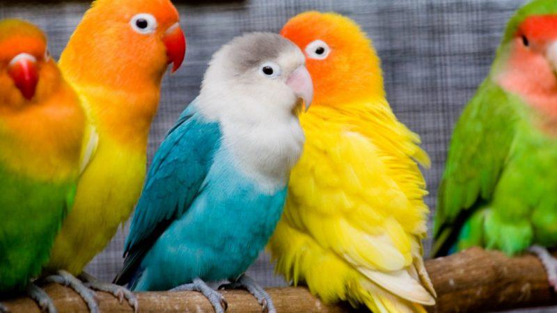 Сонник попугай большой красивый