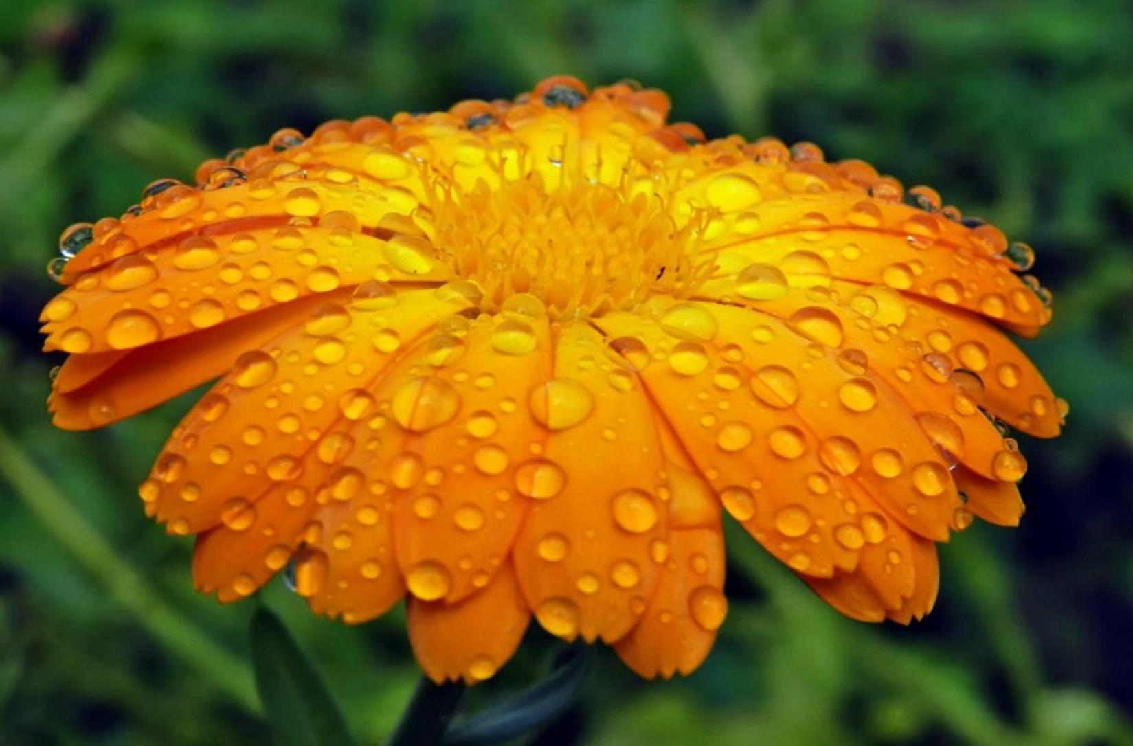 Цветки ноготков полезные свойства