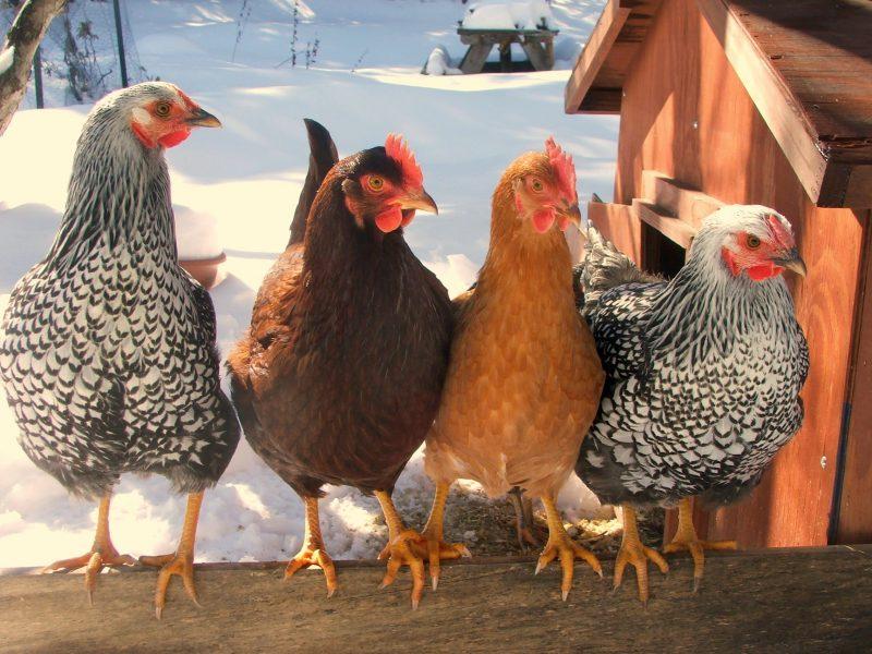 Приснилась курица с цыплятами предсказание сонников
