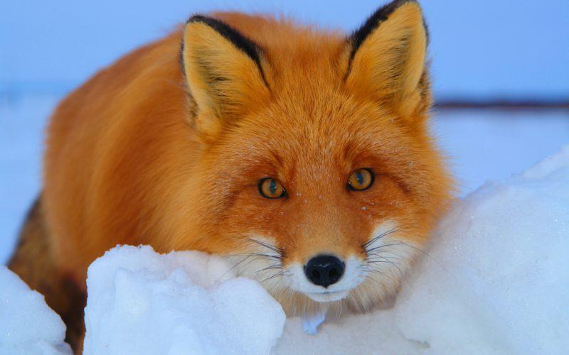 сонник лиса рыжая в доме