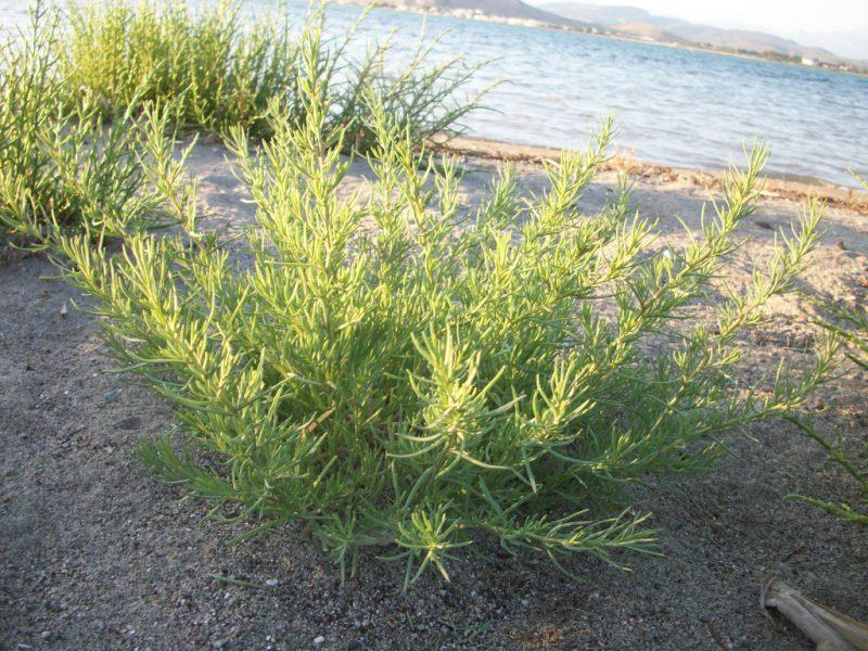 Солянка холмовая - лечебные свойства и противопоказания, инструкция по применению травы