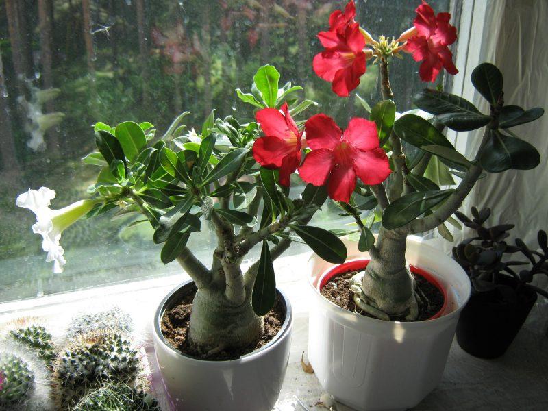 Адениумы цветение фото
