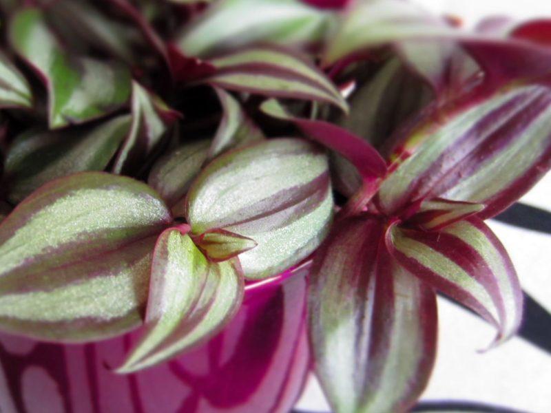 Как выращивать традесканцию в домашних условиях?