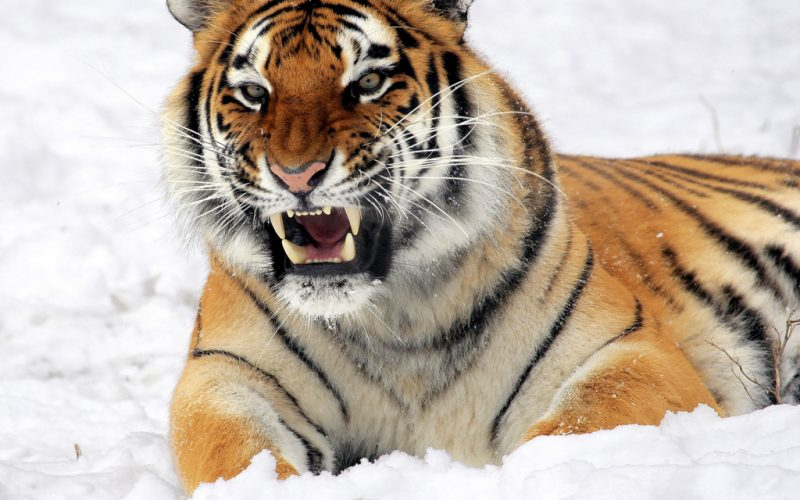 Что означает сонник тигр