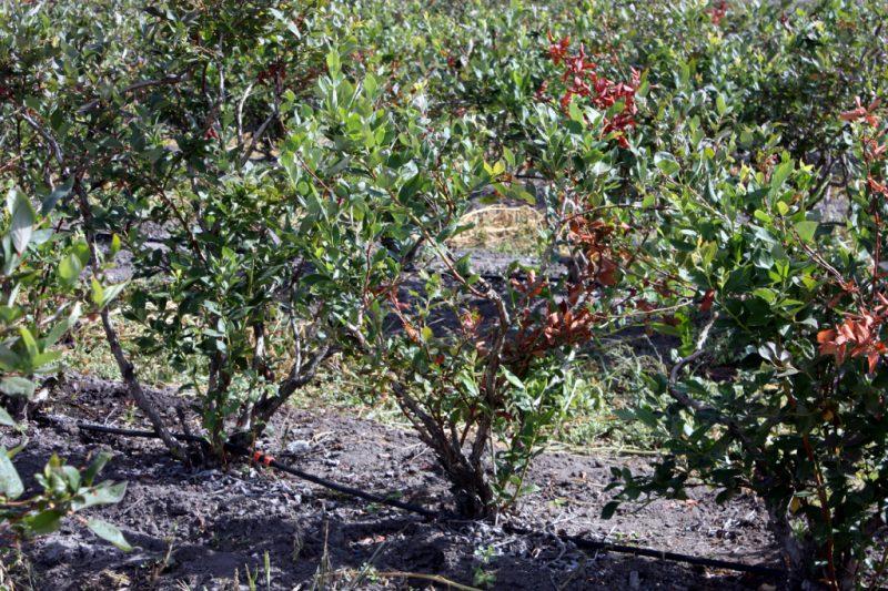 Голубика посадка и уход в открытом грунте для новичков
