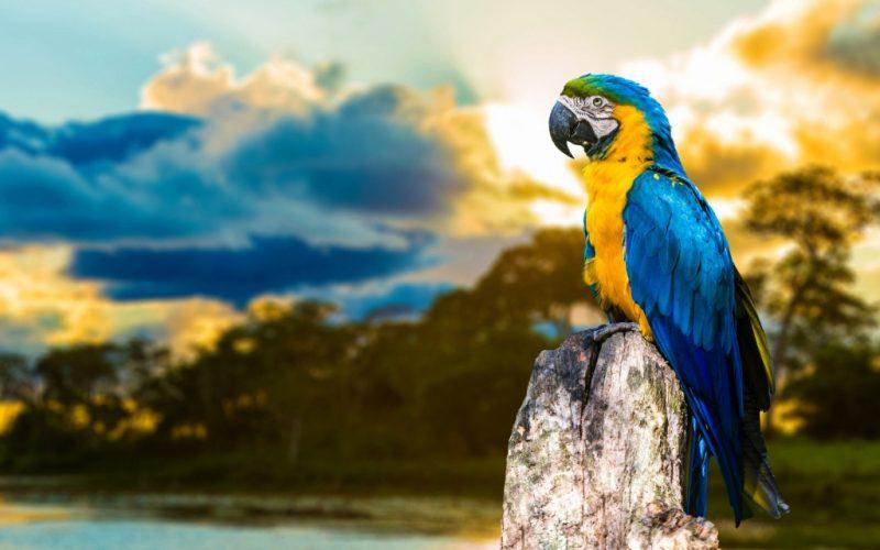 сонник попугай волнистый зеленый