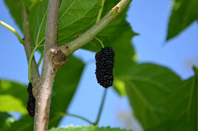 Шелковица: полезные свойства и противопоказания, польза тутовника для женщины